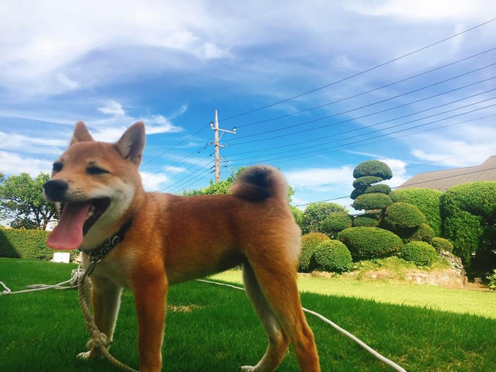 大和市 北島さま おはぎちゃん(柴犬 ♀)