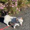 横浜市 森元さま きなこちゃん(柴犬 ♀)