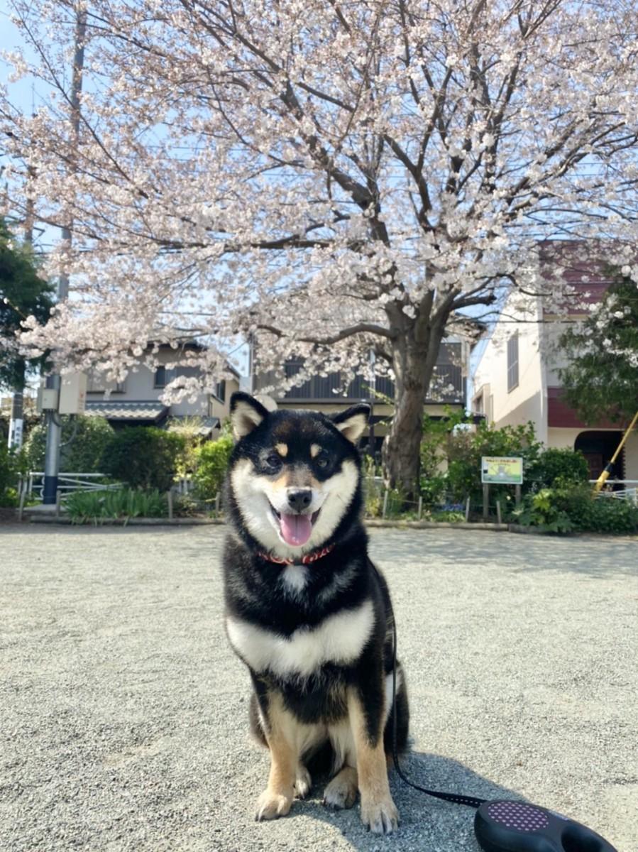 大和市 Iさま 姫ちゃん(柴犬 ♀)