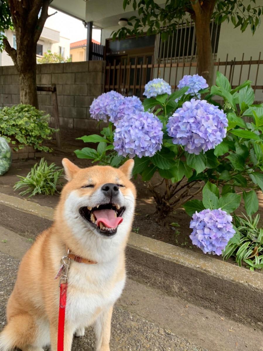相模原市 Wさま てんちゃん(柴犬 ♀)